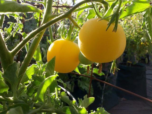 Пушистые томаты: сорта на любой на вкус и цвет