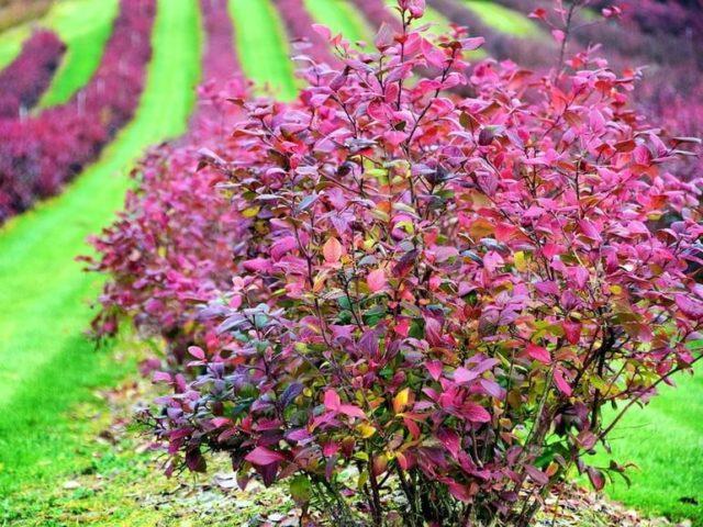 Низкорослые декоративные кустарники: сорта для посадки и общие рекомендации по уходу