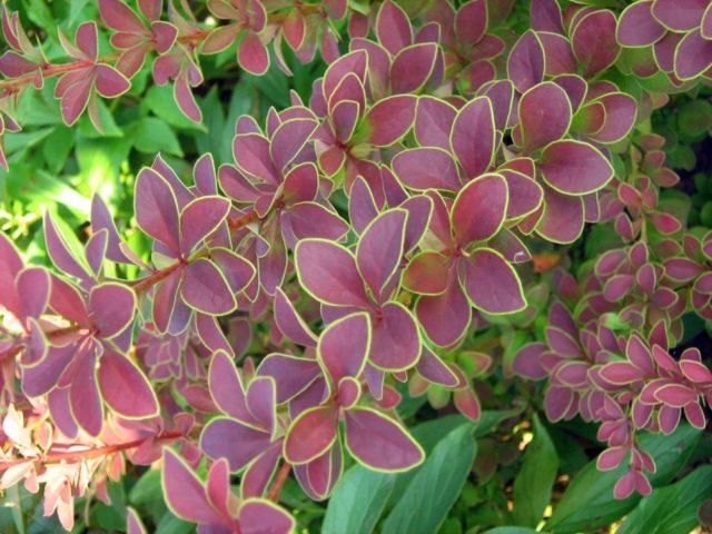 Барбарис: подходящие сорта для украшения садового участка