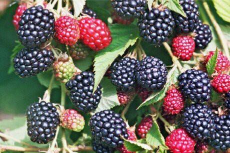 Вкусные сорта ежевики: ягоды, которые стоит посадить на участке