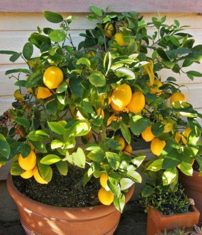 Мята, розмарин, лимон: что еще надо посадить дома для поднятия настроения