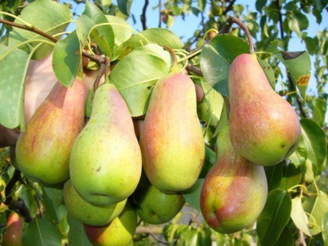 Вкусные груши: каким сортам отдать предпочтение