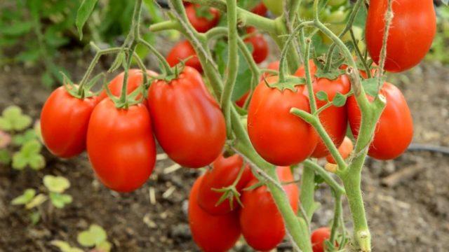 Какие сорта помидоров подходят для консервирования?