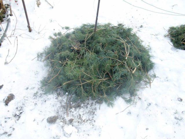 Топ-5 ошибок при защите цветов от холода