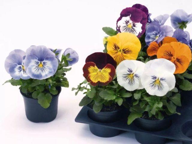 Виола: что нужно для выращивания рассады нежного цветка