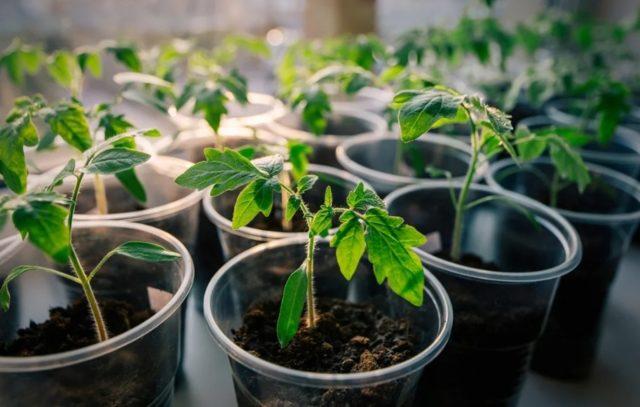 Как правильно вырастить рассаду томатов