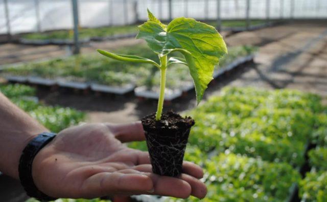 Секреты выращивания рассады огурцов