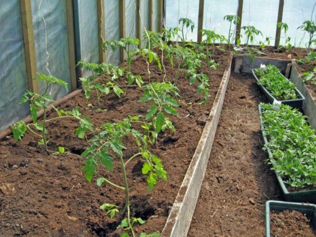 Как ухаживать за растением после высадки в открытый грунт