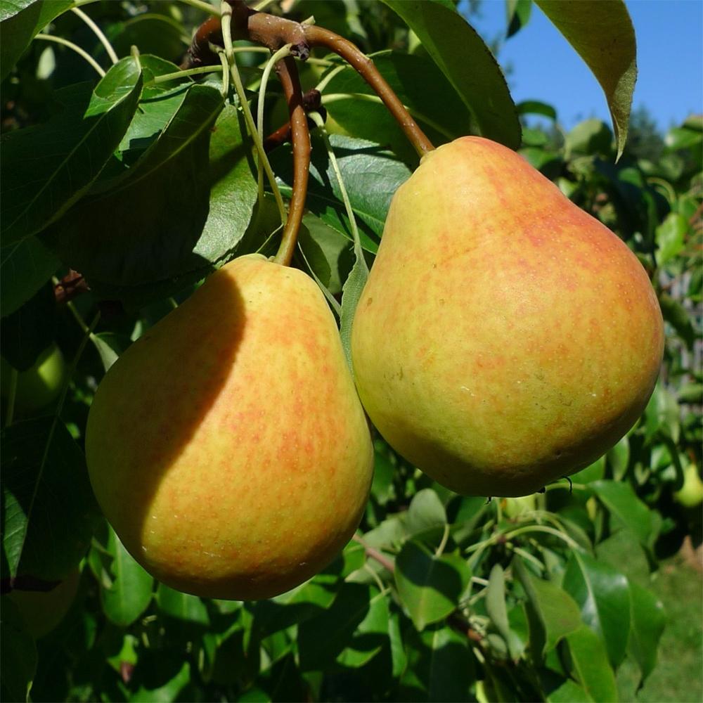Сорта груш, подходящие для выращивания в Подмосковье