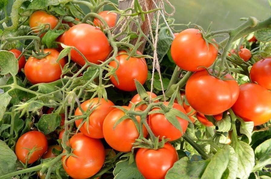 Как получить урожай томатов уже в июне: ранние сорта