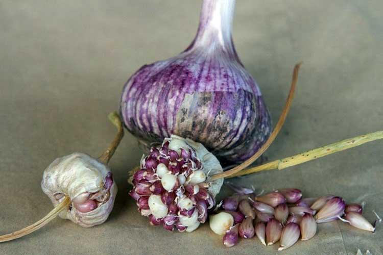 Как получить озимый чеснок из семян