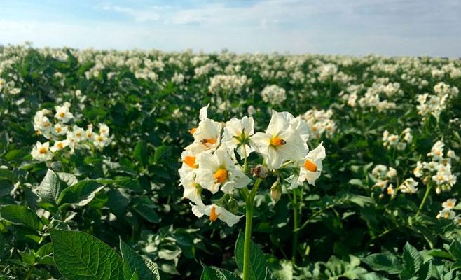 Как собрать урожай картофеля уже в июне: 7 советов