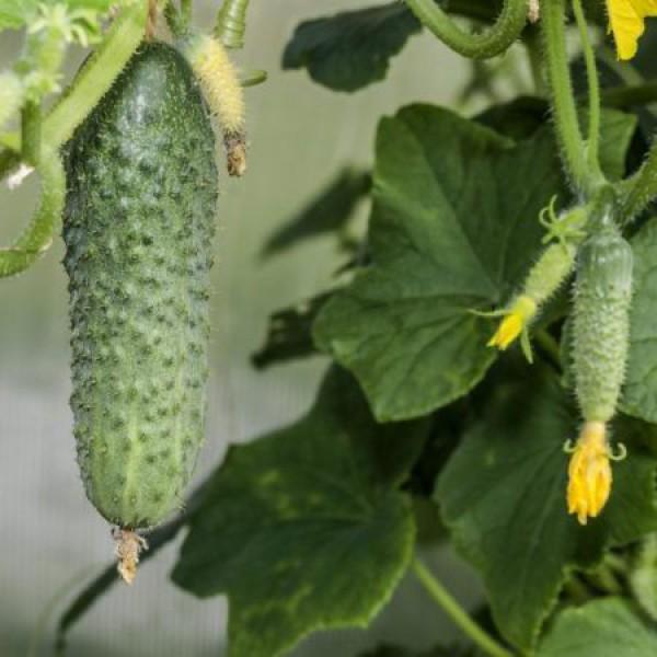 10 сортов ранних огурцов: урожай уже в июне