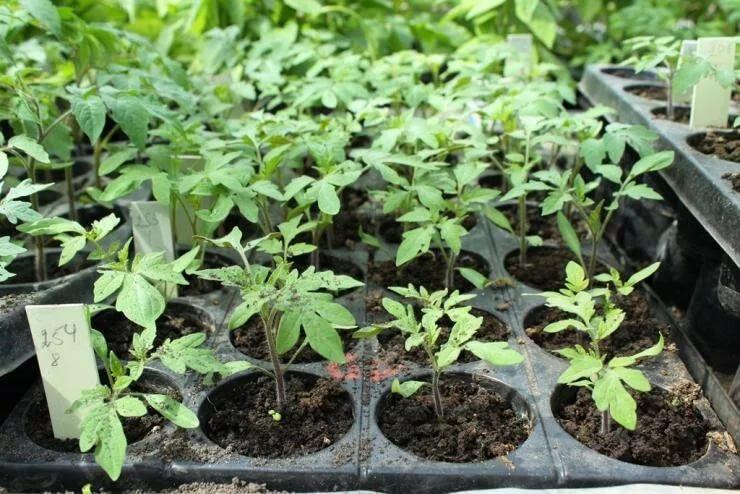 Можно ли выращивать рассаду томатов без пикировки