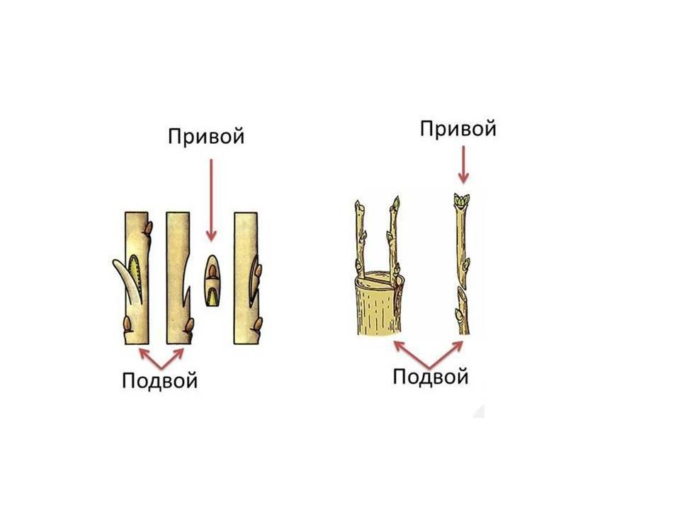 Сроки и правила прививки деревьев весной