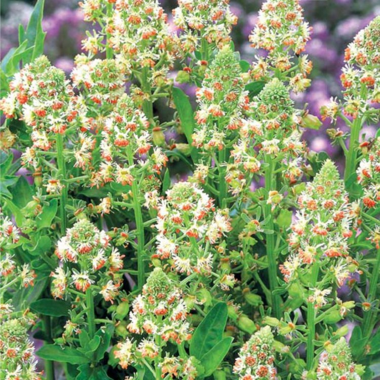 Сорта душистых растений для сада