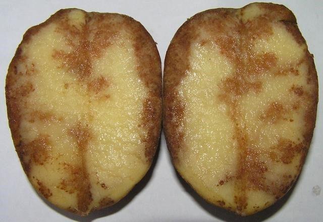 Как определить по урожаю, чем болеет картофель