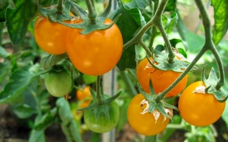Сладкие сорта желтоплодных томатов для разных регионов посадки