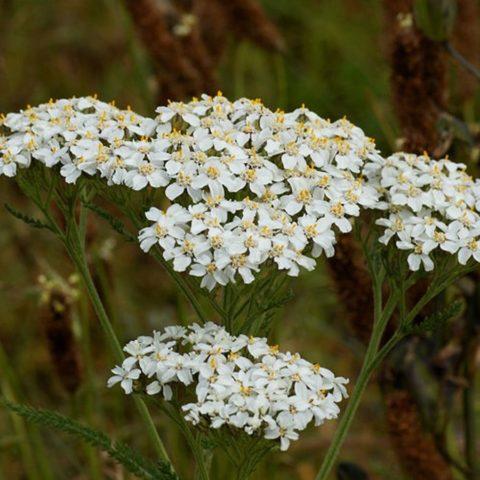 Какие многолетние неприхотливые цветы сажают на кладбище