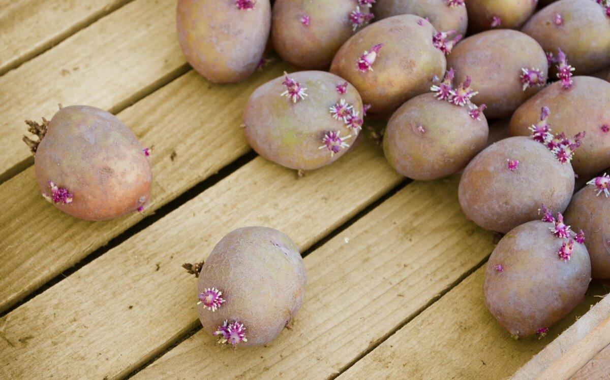 5 способов проращивания картофеля