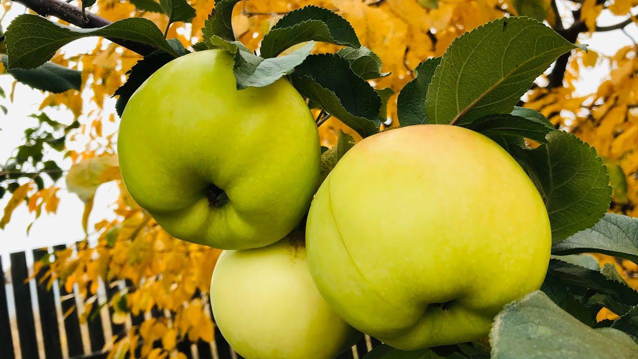 """Вся """"правда"""" о зимостойких яблоках"""