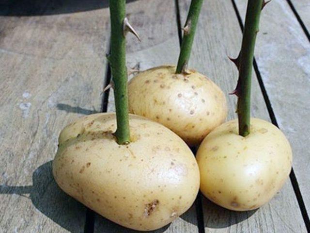 Размножение роз черенками осенью в грунт: подробная инструкция + тонкости