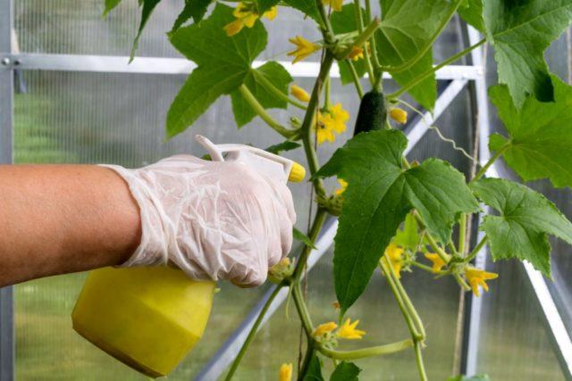 Фунгицид Акробат: от фитофтороза, альтернариоза и других болезней растений