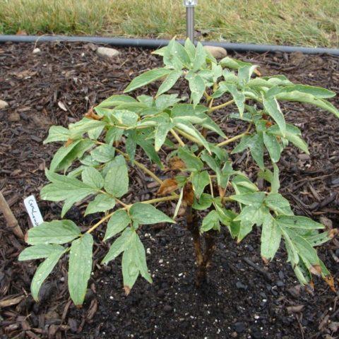 Выращивание и уход за древовидным пионом в открытом грунте
