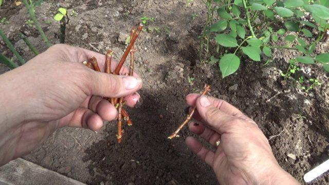 Как размножить гортензию черенками в домашних условиях весной