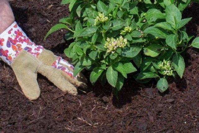 Черенкование и размножение метельчатой гортензии черенками весной