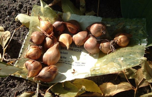 Посадка луковичных и бородатых ирисов в открытый грунт весной