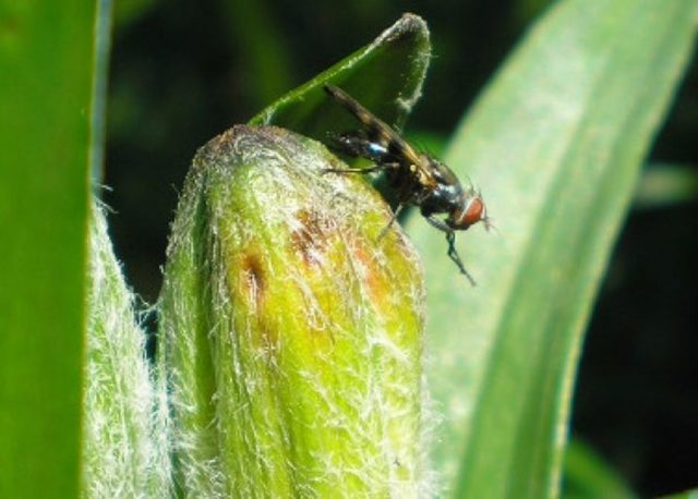 Как сажать и ухаживать за лилиями в открытом грунте