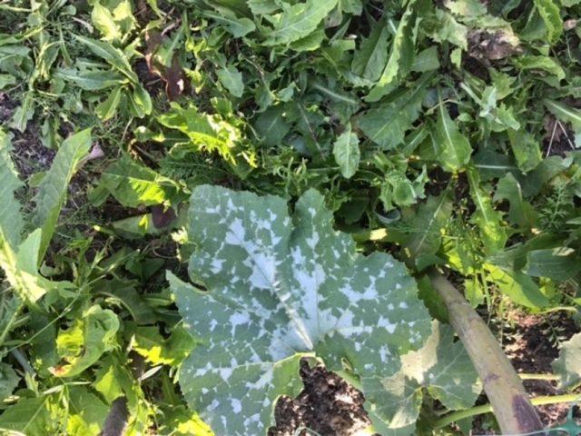 Белый налет на листьях кабачков: что делать, чем обработать, как бороться