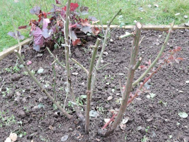 Обрезка роз осенью для начинающих: схема, видео + полезные советы