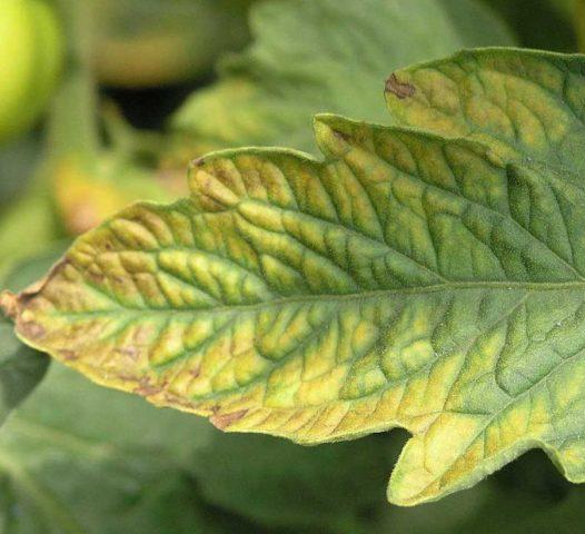 Хлороз листьев томатов в теплице: как лечить, чем подкормить, фото