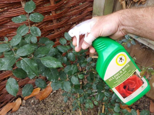 Чем подкормить розы осенью для успешной зимовки и буйного цветения