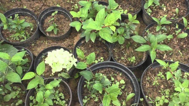 Как размножить гортензию осенью черенками: эффективные способы