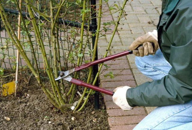 Обрезка вьющихся роз на зиму: инструкция + советы для начинающих