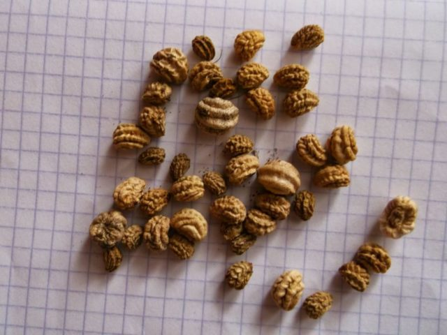 Как правильно собирать семена настурции: сроки + тонкости заготовки