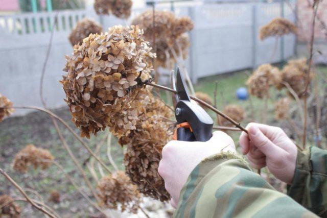 Уход за гортензией осенью: подготовка к зиме + важные нюансы