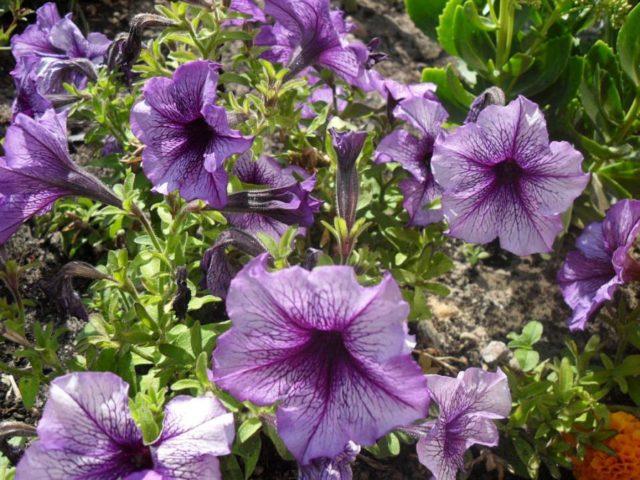 Как правильно собрать семена петунии: время и правила сбора + советы