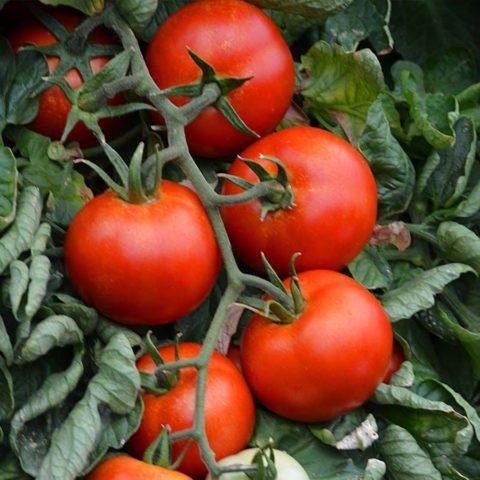 Мозаика на листьях томатов (табачная и пепино): фото и их лечение, описание