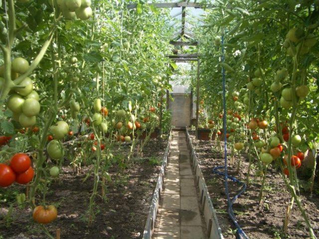 Паутинный клещ на томатах в теплице: признаки поражения, фото, меры борьбы