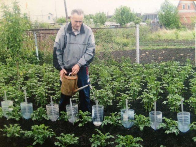 Полив кабачков в открытом грунте: как часто и сколько
