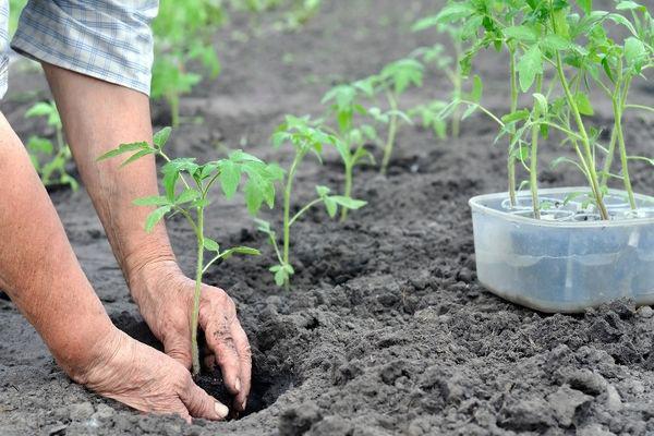 Почему засыхают и опадают цветы у помидоров в теплице и в открытом грунте