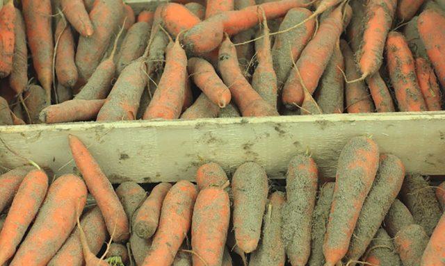 Когда и как выкапывать морковь на хранение