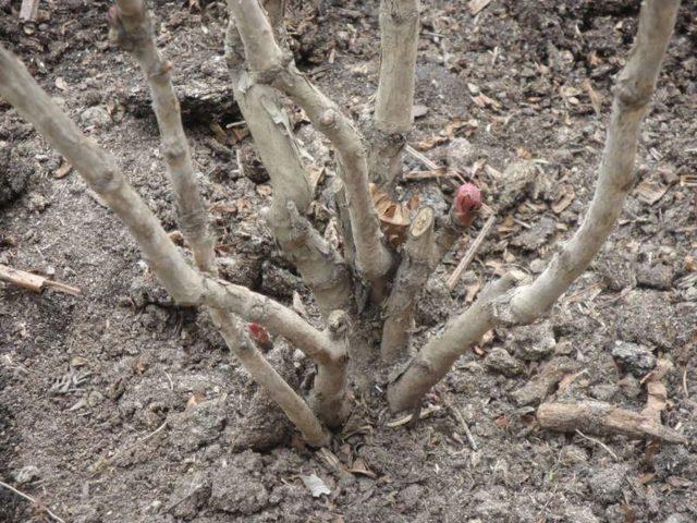 Когда и как правильно обрезать пионы осенью