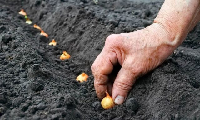 Озимый лук в Сибири: когда сажать, сроки по лунному календарю 2021 года