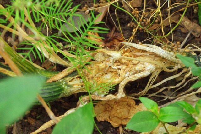 Болезни и вредители кабачков: описание с фотографиями, способы лечения