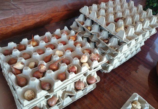 Где и как хранить луковицы тюльпанов до посадки весной, осенью